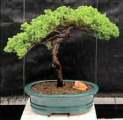 Traditional Juniper Bonsai Tree 18 Years Old 14 Tall+ceramic Container