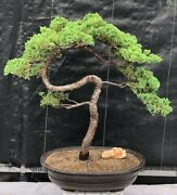 Potted In Mica Container Juniper Bonsai Tree 57 Years Old 28 Tall Evergreen