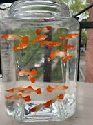 3 Pairs Albino Koi Red Ear Genetic Guppy 3+ Month Old Us Breed And Shipped.