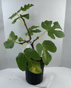 Large Tri Branch Col De Dama Rimada 2021 Fig Tree From Air Layer