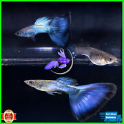 Guppy Blue Japan Live Fish - A Pair Fast Ship 3 Days Received