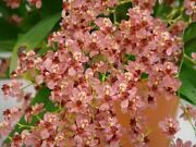 Oncidium Twinkle Andlsquopink Profusionandrsquo Orchid Blooming Size Free Shipping From Hawaii
