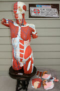 Vintage Clay Adams Complete Anatomical Torso Model Male And Female Anatomy Etc