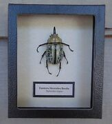 E523 Real Eastern Hercules Beetle Male Dynastes Tityus Framed Insect 5x6 Usa