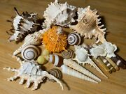 Fancy Seashells For Crafting And Decor Us Seller Free Ship