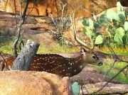 Trophy Hunt For Axis Buck Deer At The Wildlife Ranch 2 Nights Lodging Included