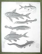 Fishes Eel Shaped Platystachus Anableps Loricaria - 1820 Abraham Rees Print