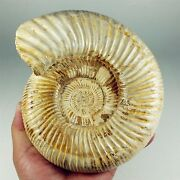 6.88 1659g Natural Fossilized Jurassic Ammonite Sutures Madagascar A1459