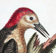 1744edwards George Painted By Hand Copper Eng. Exotic Birds Umt