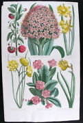 1757,antique Print John Hill Hand/col Copper Large Folio Hyacinth, Narcissus Uy8