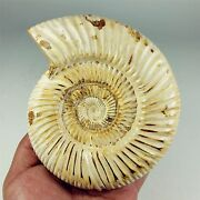 787g Natural Fossilized Jurassic Ammonite Sutures Madagascar A1457