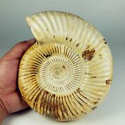 6.88 1634g Natural Fossilized Jurassic Ammonite Sutures Madagascar A1460