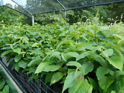 Pawpaw Trees 12 To 18 Inches Shipped In Growing Containers Second Year