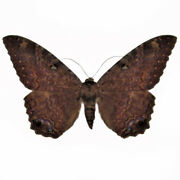 Ascalapha Odorata One Real Black Witch Moth Unmounted Wings Closed Texas Usa