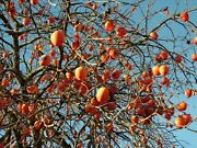 Persimmon Tree - Fruit Healthy Live - 1 Gallon Potted