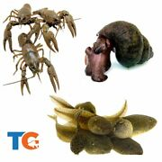 Crayfish, Trapdoor Snail And Tadpole Combo