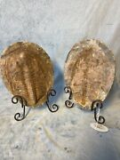 Large Trilobite Fossil With Stands Both Positive And Trace Halves 10.24andrdquox7.5andrdquo