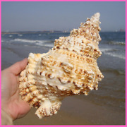 Shell Ornaments Conch Natural Home Furnishing Marine Sea Decoration Great Gift