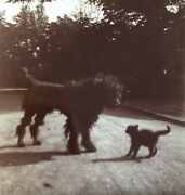 Gorgeous Victorian Antique Photo Sepia Poodle Dog Adorable Cat Play Outside