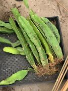 Yellow Dragon Fruit Isis Yellow Big Rooted Palnt 14'-18'