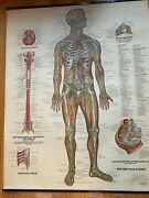 Vintage Anatomy Posters3, 1947 Bachin, Nervous System, Muscular And Skeletal