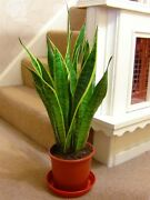 Good Luck Snake Plant Mother-in-lawand039s Tongue Evergreen Indoor @ Pot 6- 70cm Tall