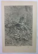 Antique Book Print Engraving 1892 Museum Of Wonders Wildcat In Forest