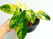 Philodendron Burle Marx Variegated Super Beautiful Rare Half Moon And Marble Var.