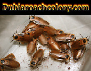 Discoid Roach Starter Colony Pregnant Females Included Nymphs Florida Legal