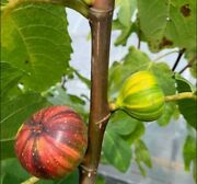 Hybrid Giant Martinenca Rimada Fig Tree From Spain Live Delicious Exotic