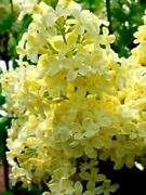 25 Yellow Lilac Seeds Tree Fragrant Flowers Perennial Flower Seed Us Seller