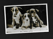 Bull Terrier Puppies From Series Dogs By Senior Service Cigarettes Card 2