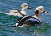 Joshua Spies Long-tailed Duck With Decoy 2009 Federal Duck Stamp Print Canvas