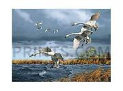 David Maass Trumpets Of Autumn - Trumpeter Swans Canvas Giclee Edition