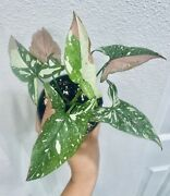 Super Rare Syngonium Red Spot Tri Color -well Established Plant With New Growths
