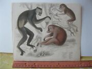 Vintage Print,monkeys 2,hand Colored,19th Cent