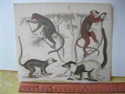 Vintage Print,monkeys,hand Colored,19th Cent