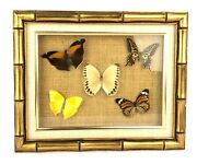 Vintage Framed Shadow Box Mounted Tropical Butterflies Stichophthalma Papilio..