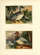 Wood Ducks And Canvasback Ducks In The Wild American Game Birds Vintage Print