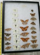 Lot Of 26 Real Butterflys Insect Collection In Frame .
