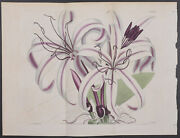 Curtis - Sir Abraham Humeand039s Crinum. 1605 - 1787-1800and039s The Botanical Magazine