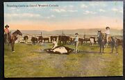 Mint Western Canada Color Picture Postcard Branding Cattle In Corral