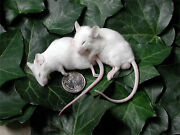 Frozen Feeder Mice 15 Small Adults -free Sandh -micedirect Rodents Reptiles