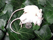Frozen Feeder Mice 75 Large Adults -free Sandh -micedirect Rodents Reptiles