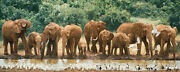 Simon Combes Heavy Drinkers Limited Edition Giclee Canvas Africa Elephant