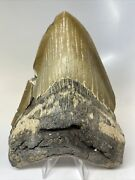 """Megalodon Shark Tooth 6.08"""" Giant - Authentic Fossil - Real 7637"""
