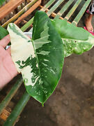 6 Plants Macrorrhiza Variegated Albo Real Pict - Mayoii Pink Congo Tricolor