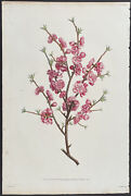 Prevost - Peach Branch. 17 1805 Collection Hand-colored Stippled Engraving