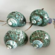 Super Large Sea Snail 710cm Natural Conch Shell Craft Home Decoration Ornaments