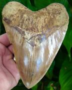 Megalodon Shark Tooth - 6 And 1/16 - Ultra Serrated - Real Fossil - No Resto